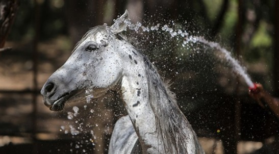 antalya-da-faytonlardan-kurtarilan-atlar-ozel-bakimda-596122-5